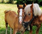 horses-385769_640